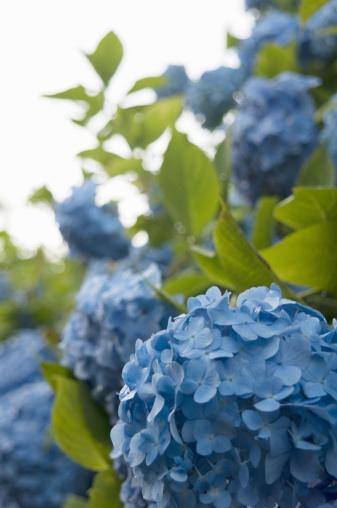 かまくら「Blue Hydrangea in garden」:スマホ壁紙(8)