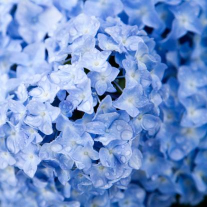 あじさい「ブルーアジザイ」:スマホ壁紙(2)