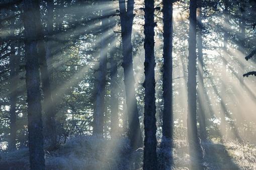 常緑樹「松の木の森に人影」:スマホ壁紙(17)