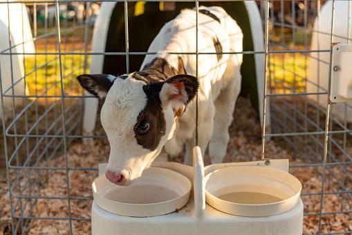 Utah「Young Cattle Calf in a Stall」:スマホ壁紙(7)