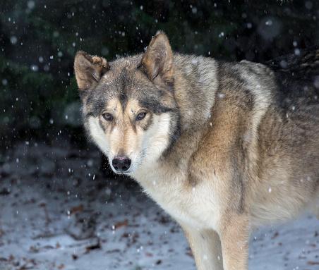 狼「A timber wolf with falling snow, head and shoulders」:スマホ壁紙(6)