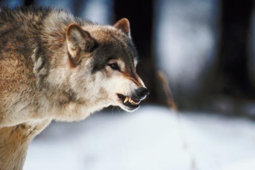 Animals Hunting「Timber wolf」:スマホ壁紙(2)