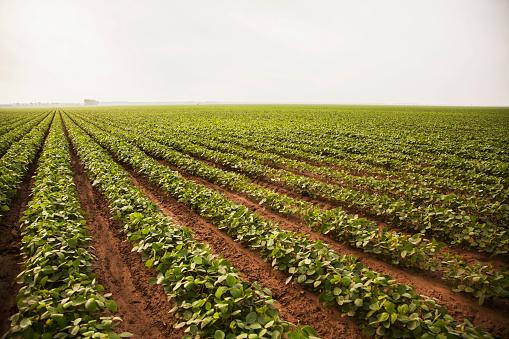 Plowed Field「Soybeans with furrow irrigation」:スマホ壁紙(7)