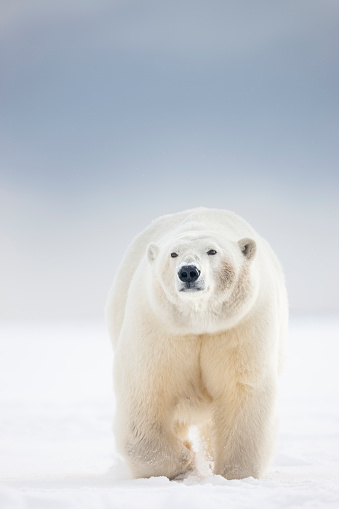 Arctic National Wildlife Refuge「Adult female polar bear in snow」:スマホ壁紙(14)