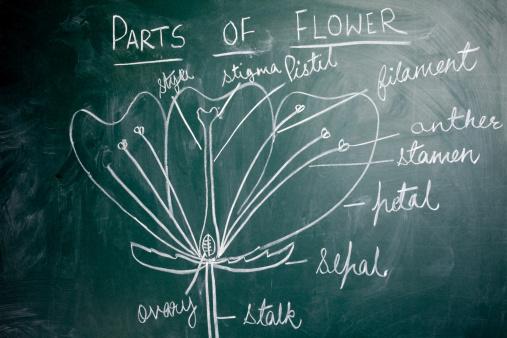 Pistil「Chalk Hand Drawing on Greenboard Blackboard showing Parts of Flowers」:スマホ壁紙(3)