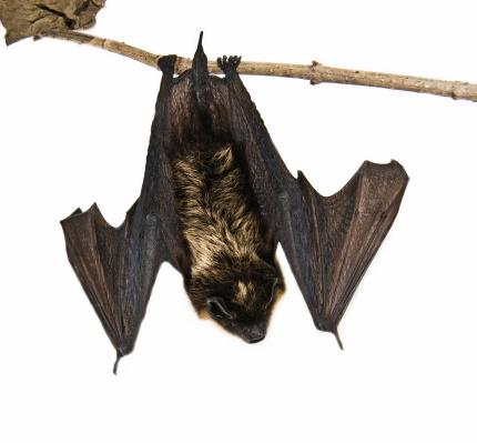 Bat - Animal「small brown bat sitting on branch (isolated)」:スマホ壁紙(9)