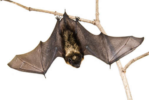 Fly - Insect「A small brown bat hanging upside down on a branch」:スマホ壁紙(6)