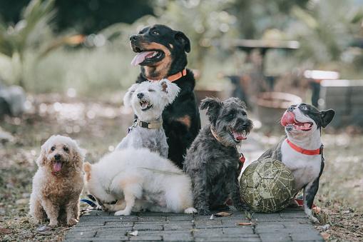 Animal Themes「dog breed rottweiler, french bulldog, toy poodle, Scottish terrier, Pomeranian outside under sunlight」:スマホ壁紙(5)