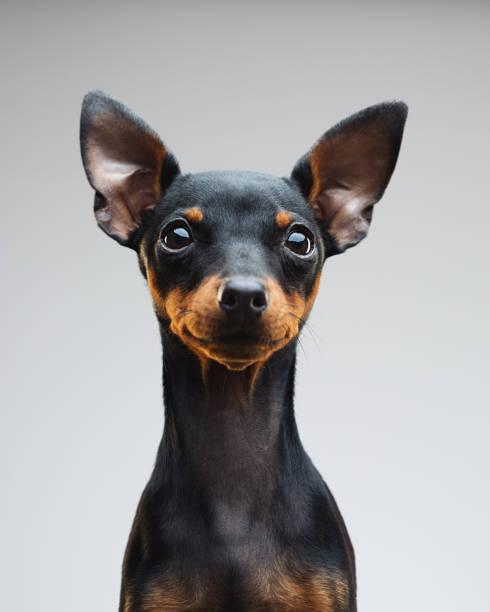 Cute puppy of miniature pinscher dog:スマホ壁紙(壁紙.com)