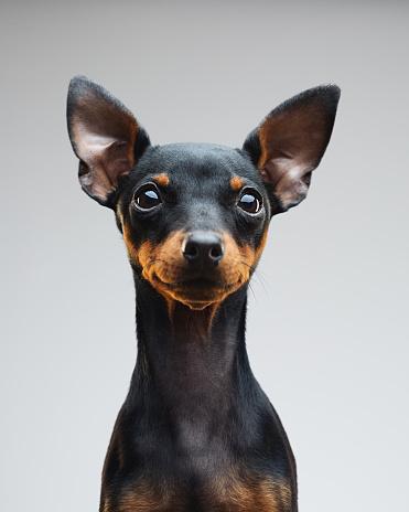 Gray Background「Cute puppy of miniature pinscher dog」:スマホ壁紙(6)