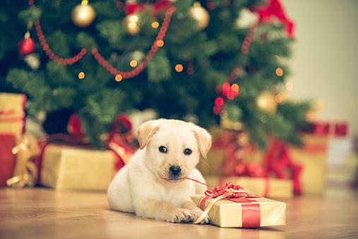 犬「かわいい子犬のクリスマスのお祝い」:スマホ壁紙(18)