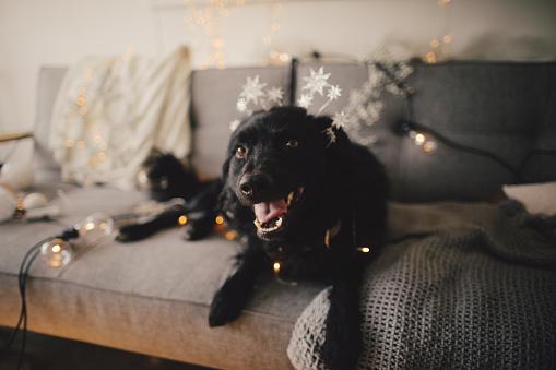 Christmas Lights「Cute dog is ready for Christmas」:スマホ壁紙(5)