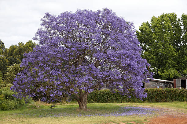 Jacaranda tree in bloom:スマホ壁紙(壁紙.com)