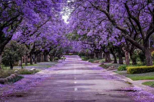 Jacaranda Tree in full bloom:スマホ壁紙(壁紙.com)