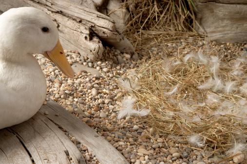 鳥の巣「Mother duck looking at empty nest」:スマホ壁紙(11)
