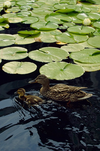 Water Lily「A Mother Duck and Duckling Swimming Amongst Lily Pads」:スマホ壁紙(12)