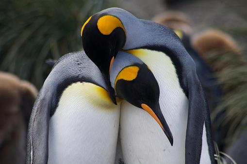 Grooming - Animal Behavior「Bonding pair of Emperor Penguins」:スマホ壁紙(19)