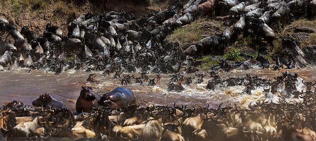 カバ「Topi and Wildebeest cross Mara River.」:スマホ壁紙(9)