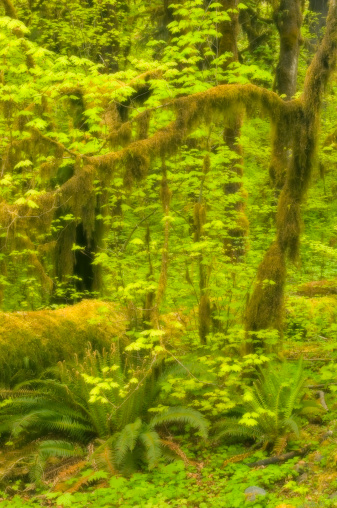 Hoh River Valley「Vine maple (Acer circinatum) and sword ferns in forest, (soft focus)」:スマホ壁紙(5)
