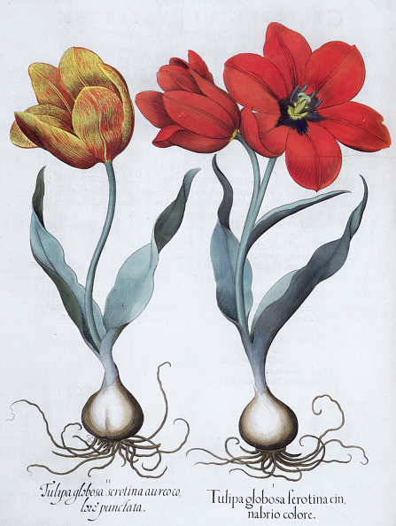 Botany「Tulips 1613」:写真・画像(14)[壁紙.com]