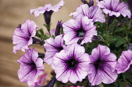 ペチュニア「Petunia Ray Purple Vein Ray Flower Cluster」:スマホ壁紙(14)