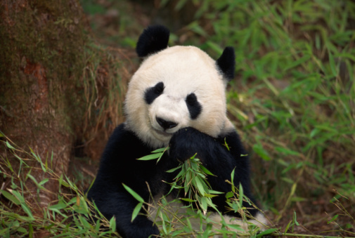 パンダ「Panda bear eating」:スマホ壁紙(9)