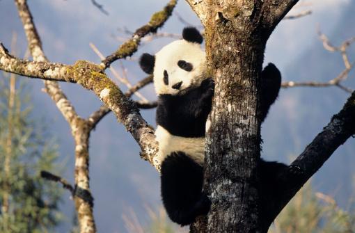 パンダ「Panda bear on tree」:スマホ壁紙(19)