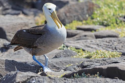 Albatross「Ecuador, Galapagos Islands, Espanola, Punta Suarez, Galapagos albatross」:スマホ壁紙(12)