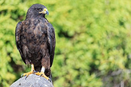 Hawk - Bird「Ecuador, Galapagos Islands, Espanola, Punta Suarez, Galapagos hawk」:スマホ壁紙(15)