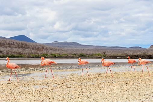 ガラパゴス諸島「Ecuador, Galapagos Islands, Floreana, Punta Cormorant, six pink flamingos walking in a lagoon」:スマホ壁紙(4)