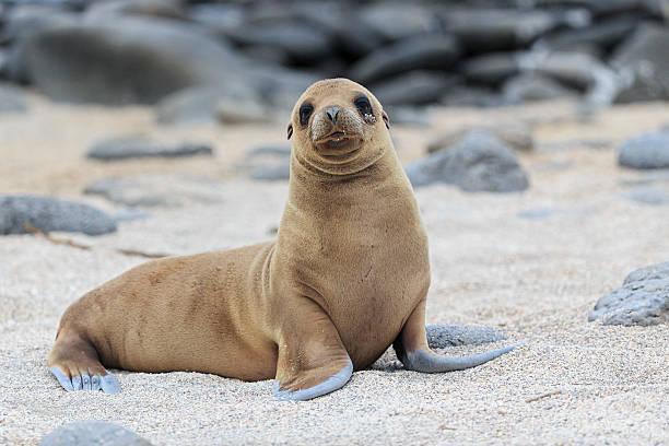 Ecuador, Galapagos Islands, Seymour Norte, young sea lion on sandy beach:スマホ壁紙(壁紙.com)