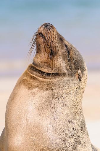 Sea Lion「Ecuador, Galapagos Islands, Santa Fe, portrait of Galapagos sea lion with eyes closed」:スマホ壁紙(12)