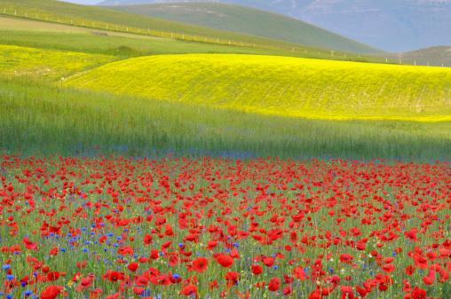 アブラナ「Colourful flower fields of Piano Grande」:スマホ壁紙(9)