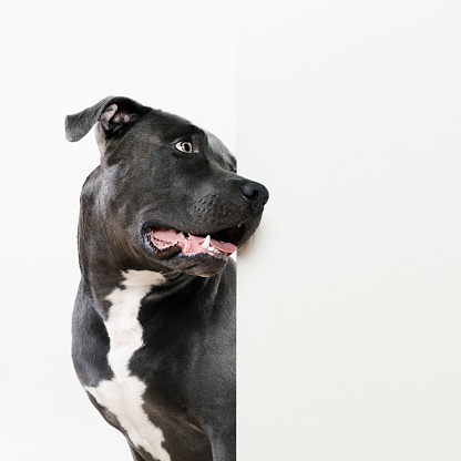 Staring「Black pit bull dog and white wall」:スマホ壁紙(15)