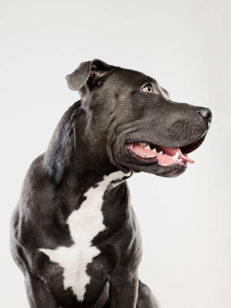 Black pit bull dog sitting portrait:スマホ壁紙(壁紙.com)