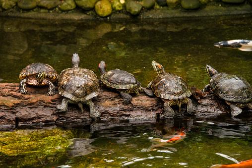 Log「Turtles on a log」:スマホ壁紙(17)