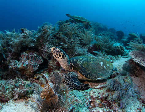 Hawksbill Turtle「Turtles on a coral reef in Indonesia.」:スマホ壁紙(19)
