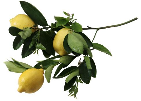 Deciduous tree「Lemon branch」:スマホ壁紙(19)