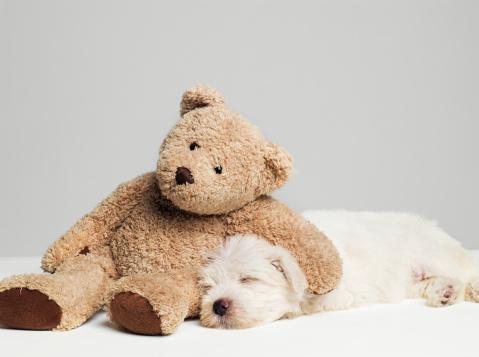 Leaning「Teddy bear resting on sleeping West Highland Terrier puppy, studio shot」:スマホ壁紙(11)