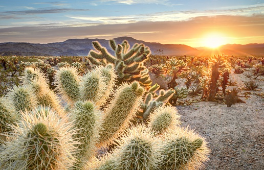 Western USA「Teddy bear cholla cactus in Joshua tree national park at sunset, California USA」:スマホ壁紙(13)