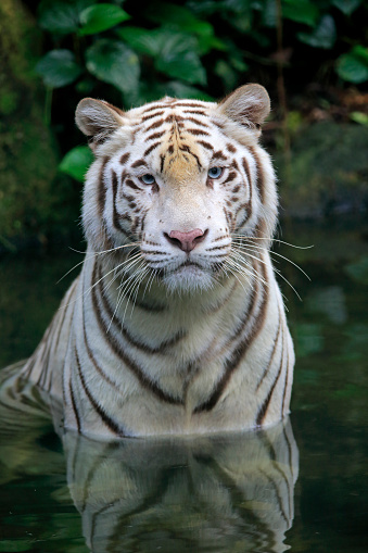 Tiger「Indian Tiger, (Panthera tigris tigris)」:スマホ壁紙(1)
