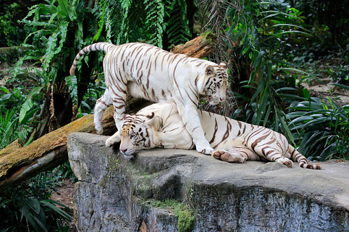 Tiger「Indian Tiger, (Panthera tigris tigris)」:スマホ壁紙(7)