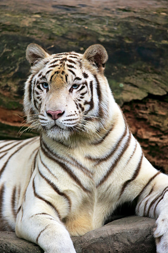 Tiger「Indian Tiger, (Panthera tigris tigris)」:スマホ壁紙(6)