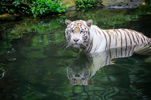 Tiger「Indian Tiger, (Panthera tigris tigris)」:スマホ壁紙(2)