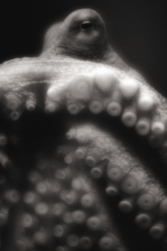 Tentacle Sucker「Giant Pacific octopus, close-up, underwater view (B&W, soft focus)」:スマホ壁紙(6)