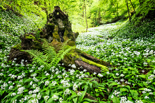 Springtime「Bear leek , Wild garlic in Fairy Forest  - Bärlauch」:スマホ壁紙(3)