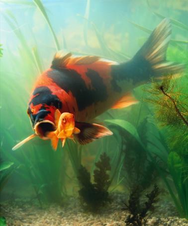 Carp「Koi carp amongst plants, poised to swallow goldfish (Composite)」:スマホ壁紙(18)