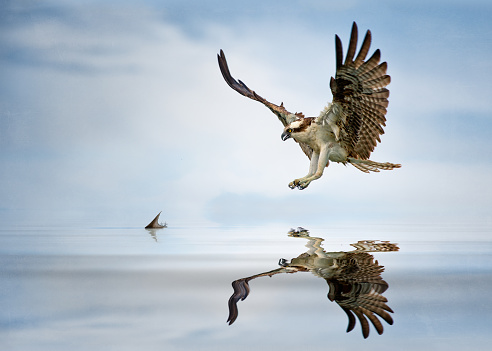 Animals Hunting「Osprey (Pandion haliaetus) hunting for fish, Florida, America, USA」:スマホ壁紙(0)