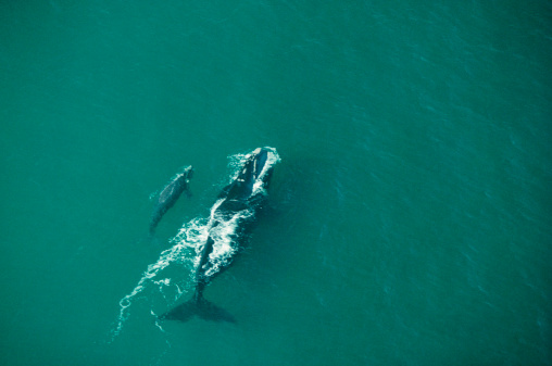 Females「Southern right whale cow with calf, aerial view, Argentina」:スマホ壁紙(2)