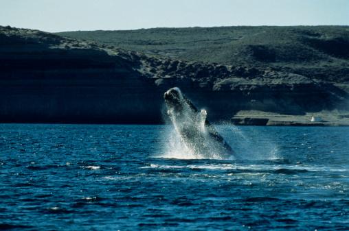 クジラ「Southern right whale (Eubalaeha australis) breaching」:スマホ壁紙(15)